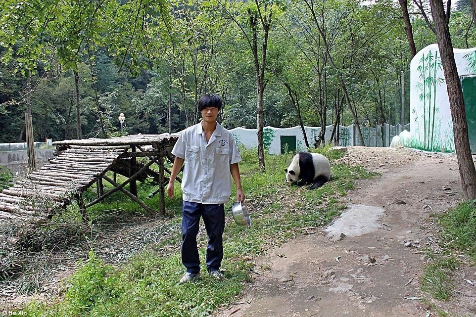 5. Ежедневный рацион Ци Цзая – 10 кг бамбука, молоко и китайские булочки.