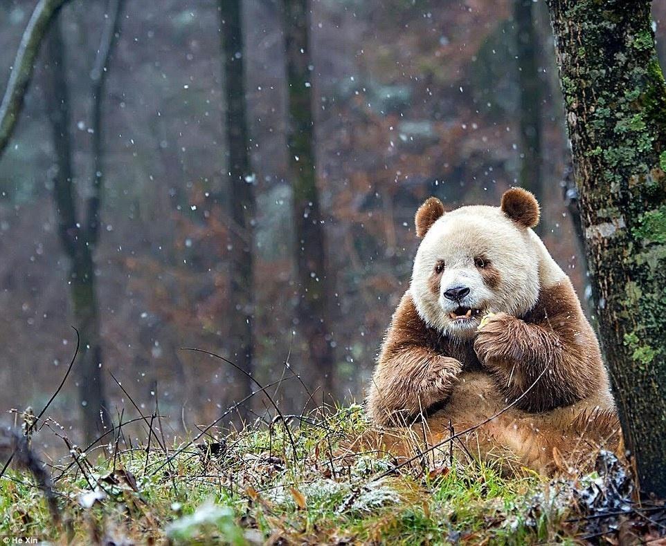 Коричневые панды картинки
