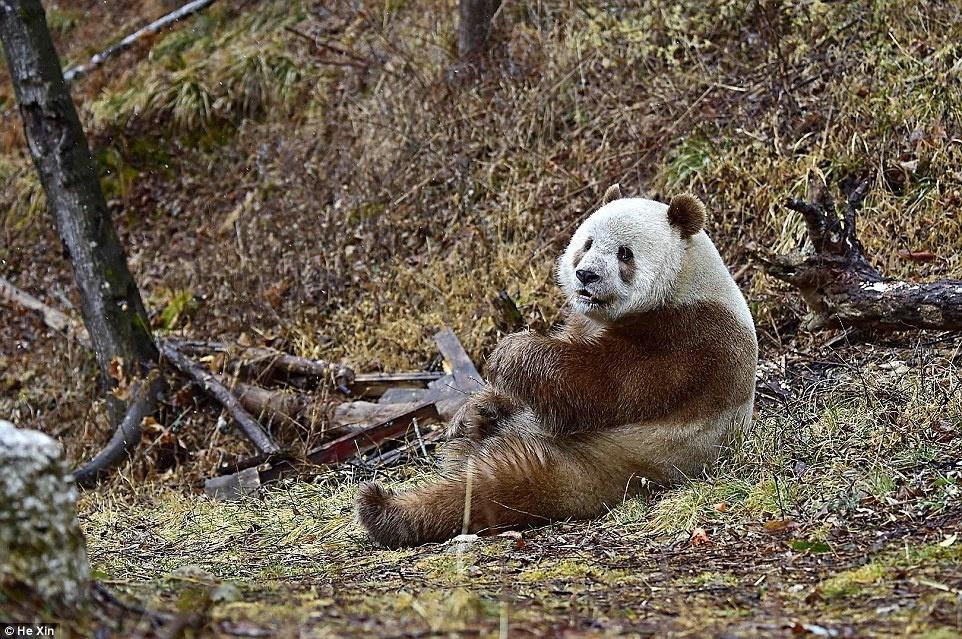 8. Ученые надеются, что изучая потомство коричневой панды, они смогут лучше понять причину такой расцветки меха.