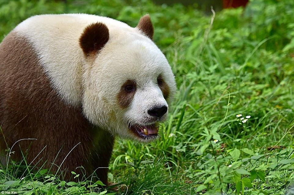 9. В прошлом коричневых панд уже скрещивали с черно-белыми пандами. Потомство было черно-белым.