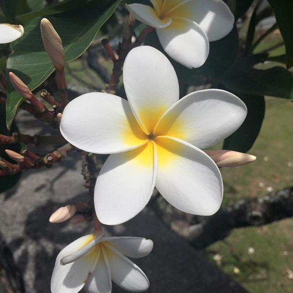 12. Цветок аралии.