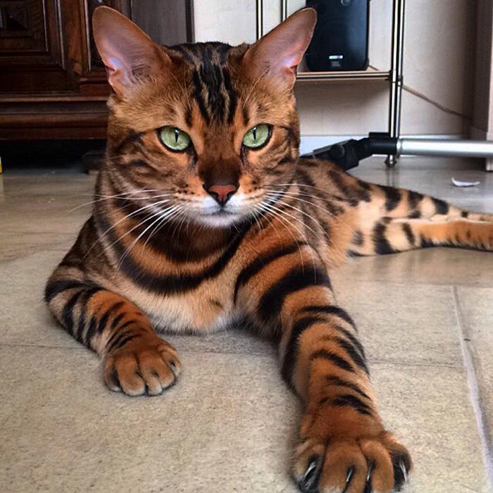 1. Тор, бенгальский кот с леопардовым окрасом.