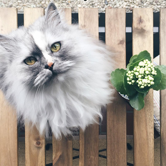 16. Алиса, персидская кошка с мраморным мехом.