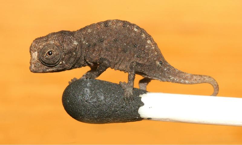 1. Brookesia micra. Этот восхитительный маленьких хамелеон не превышает в длину 3 см. Найти этого кроху можно на в месте под названием Носи Хара, на самом краю Мадагаскара.