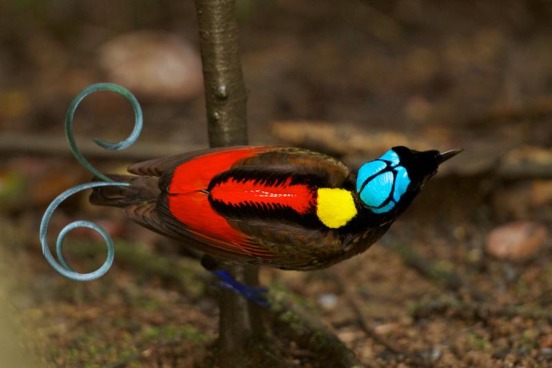 3. Синеголовая великолепная райская птица. Эта удивительная птица с закрученным хвостом обитает на островах Вайгео и Батанта в Новой Гвинее.