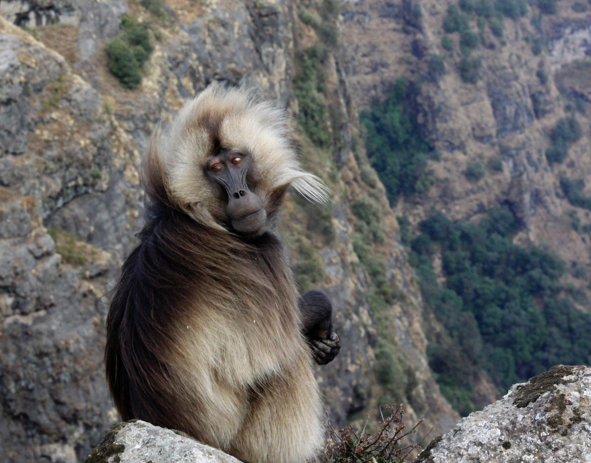 5. Гелада. Эта редкая обезьяна обитает только в высокогорных районах Эфиопии.
