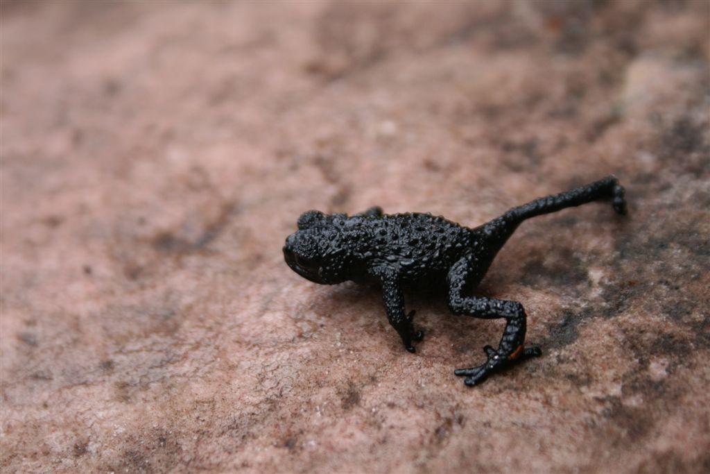 6. Галечная жаба. Живет только в горах Венесуэлы.