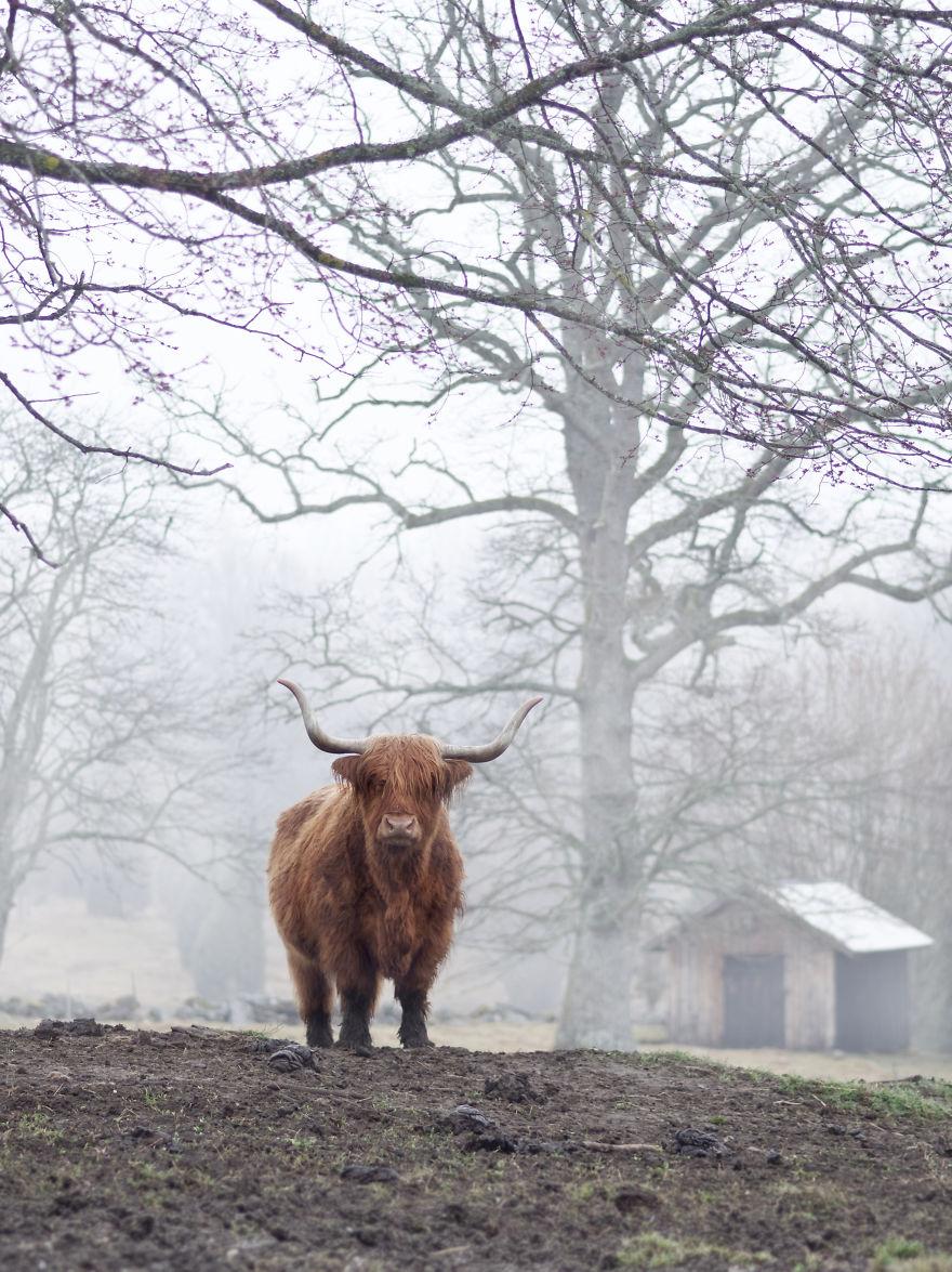 8. Хайленд (шотландская корова).