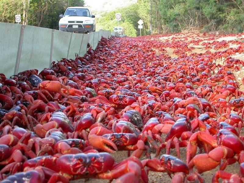 18. Миграция крабов. Каждый год на острове Рождества около 43 миллионов красных крабов массово мигрируют к океану, чтобы отложить там яйца.