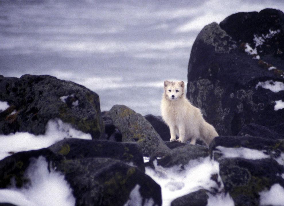 12. 1996 год. Песец после разлива нефти на островах Прибылова.