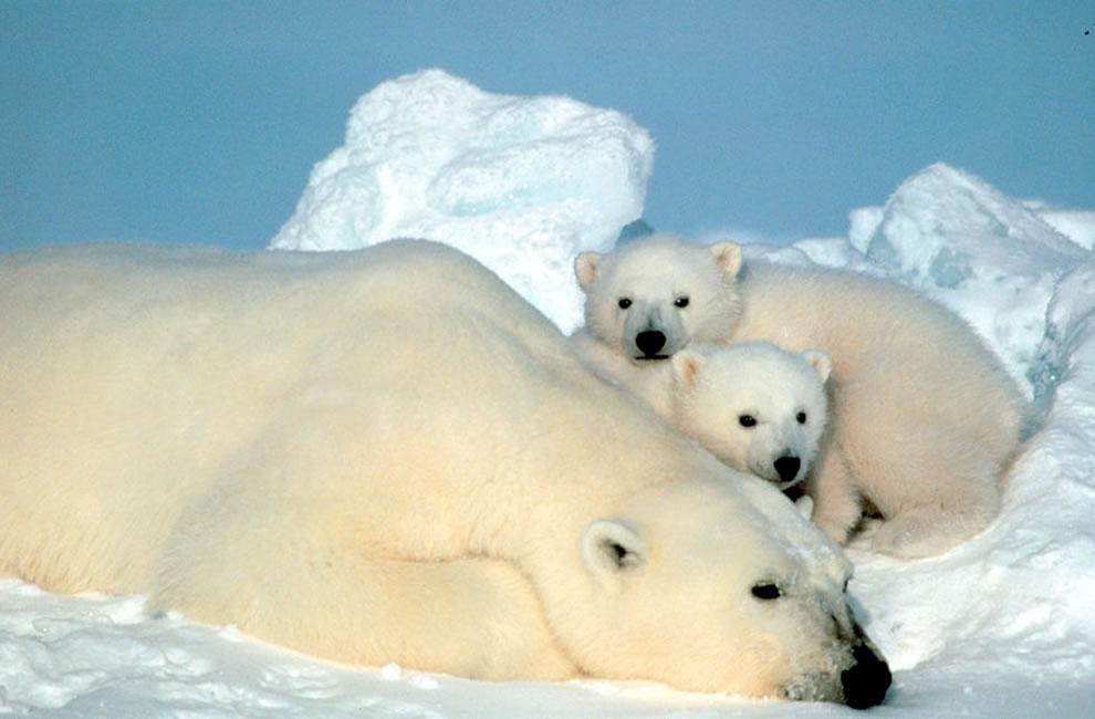 18. И конечно Северный полюс не мыслим без белых медведей. На фото медведица с медвежатами.
