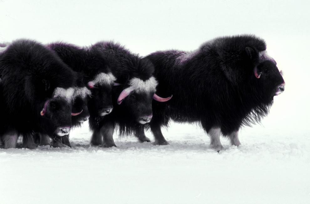 5. Овцебыки – арктические млекопитающие, которые, как считается, выжили в период плейстоцена.