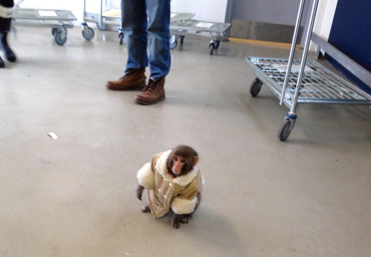7. Дарвин. Макака-резус по кличке Дарвин, разгуливающий по магазину IKEA, одетый в меховое пальто и подгузники, стал настоящим хитом интернета.