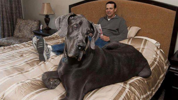 8. Джордж. Голубой дог Джордж известен, как самый большой пес в мире, его длина составляет 221 см, а вес – 110 кг.