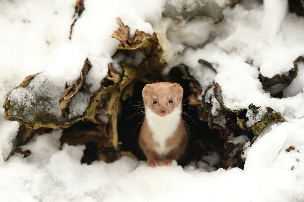5. Горностай весной, Северный Йоркшир, Англия, фотограф Robert E Fuller, британский победитель сезона, British Wildlife Photography Awards.