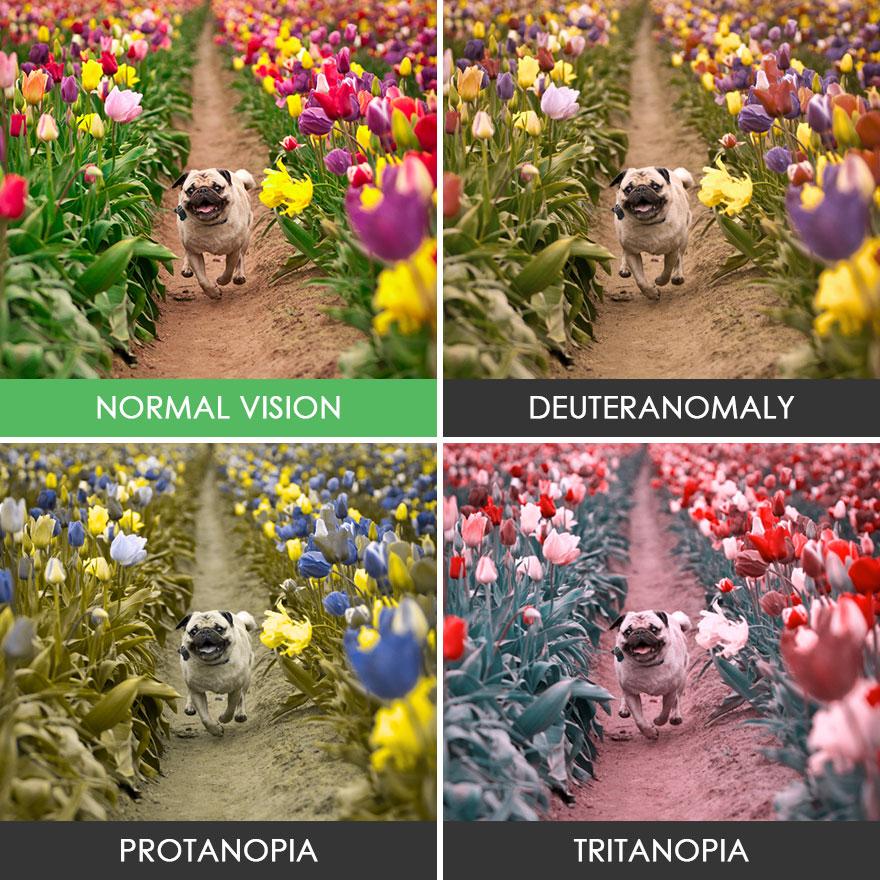 6. А теперь более наглядные примеры четырех видов дальтонизма. Мопс среди тюльпанов.