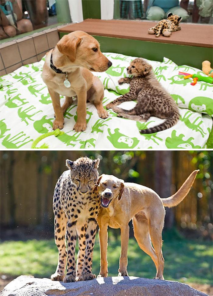 6. Гепард и лабрадор.