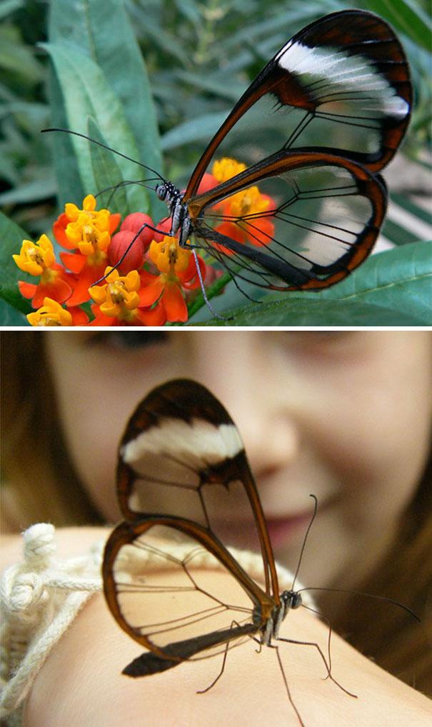 1. Бабочка Грета Ото.