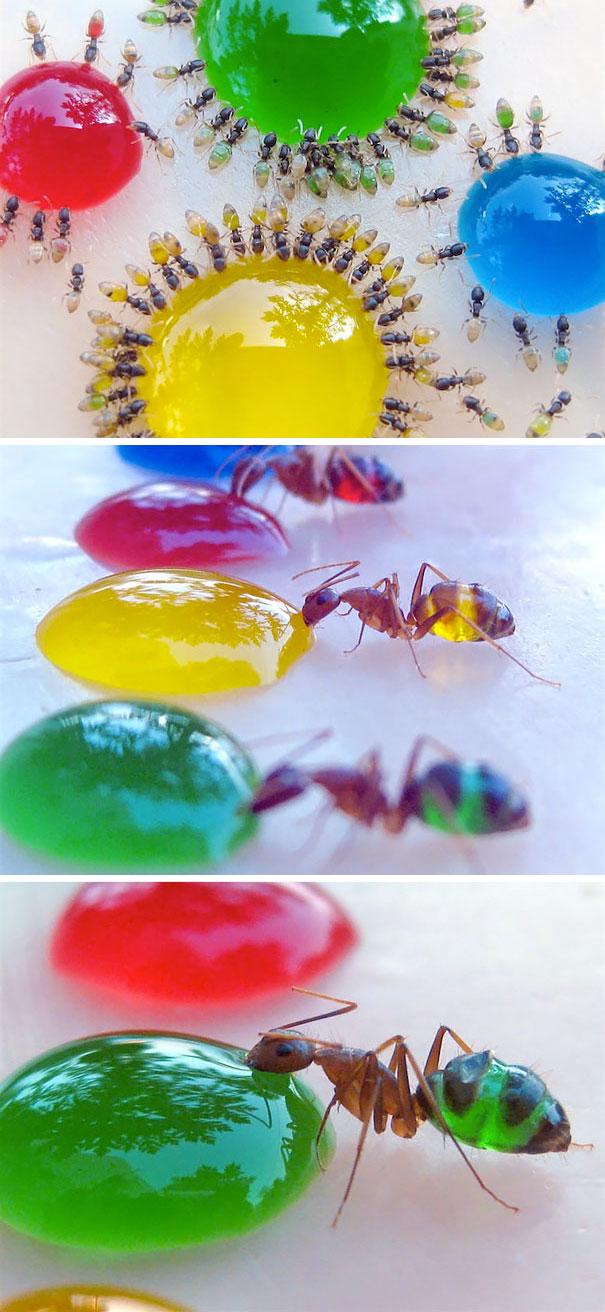 4. Фараонов муравей.