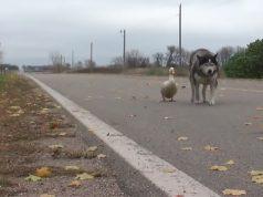 дружба собаки и утки