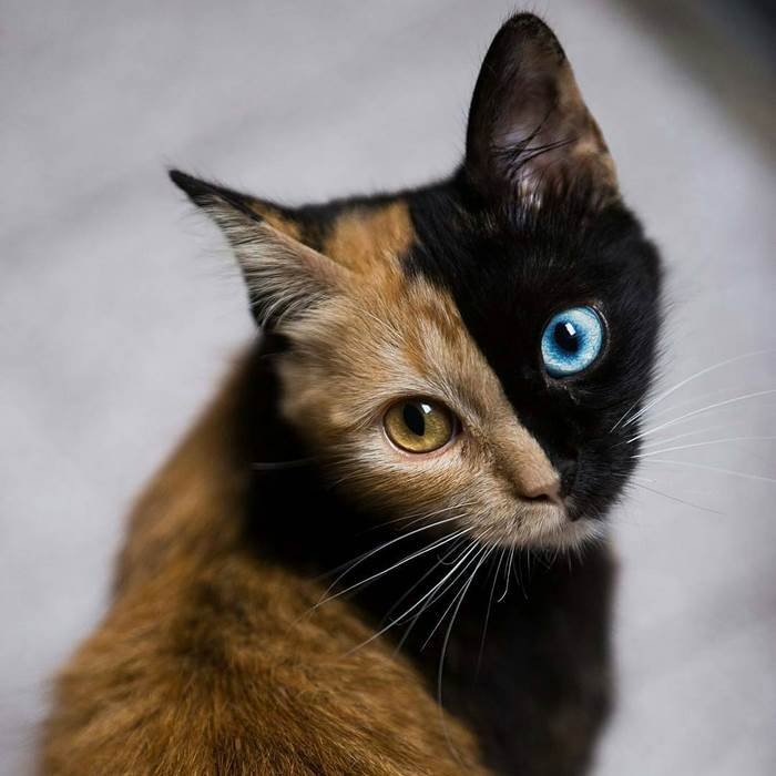 Cat With  Different Colored Eyes For Sale