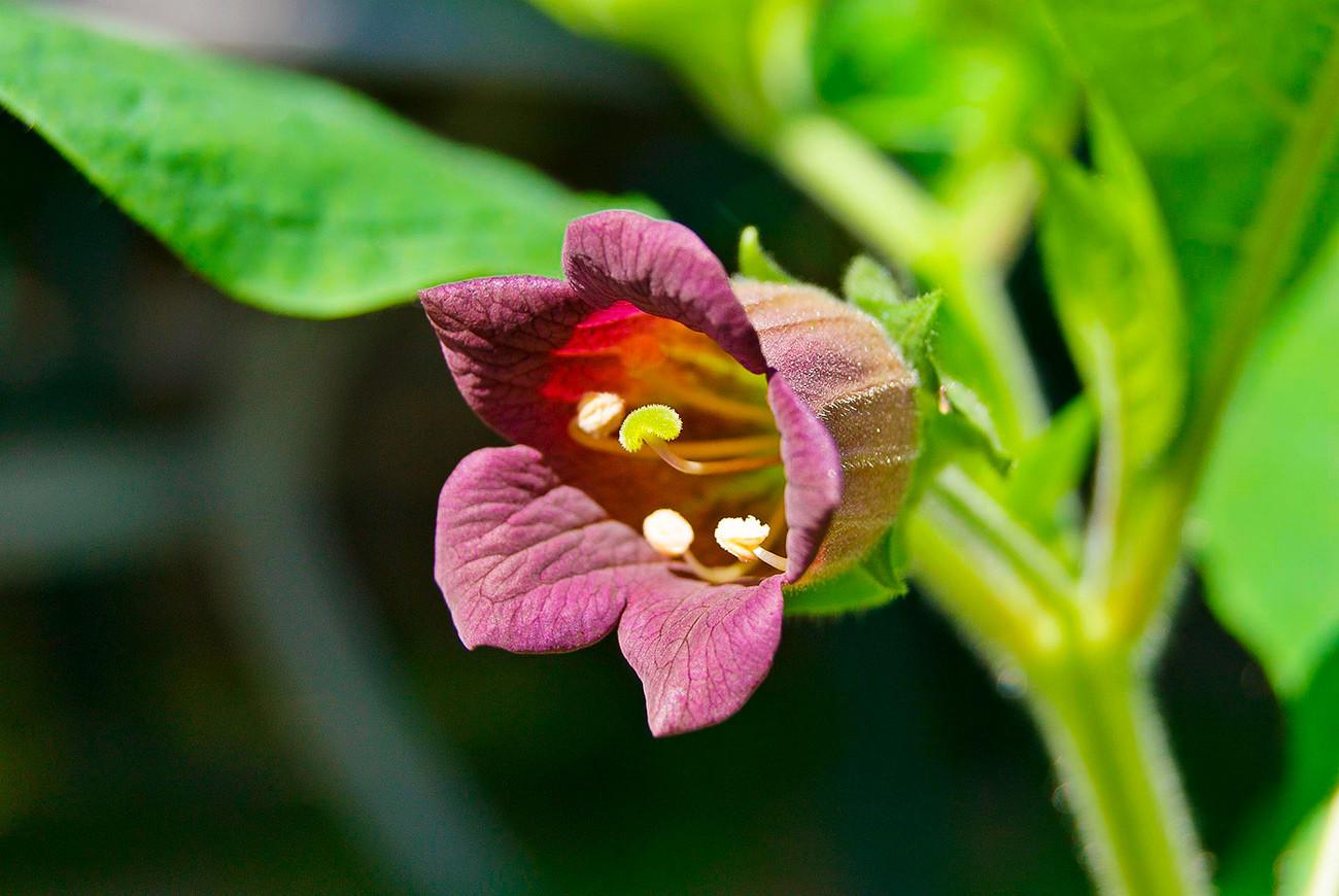 Цветок красавка картинки