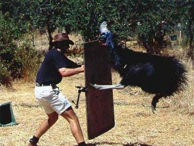 15. Также в Австралии вам могут поджидать казуары – агрессивные и злобные птицы, к которым лучше не подходить слишком близко.