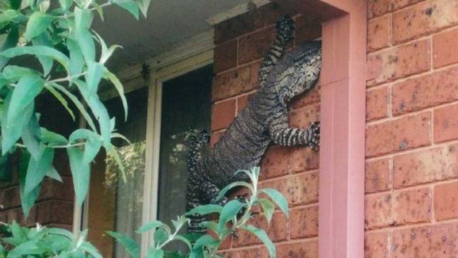 9. Австралийцы должны как можно чаще проверять свои дома на наличие гигантских ящериц.