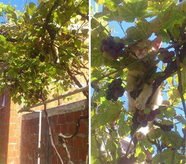 6. Кошеня вирішив поспати серед винограду.