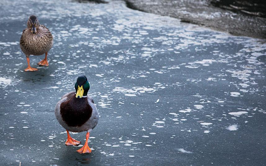 3. Англия. Утки на замерзшей поверхности канала Кеннет.