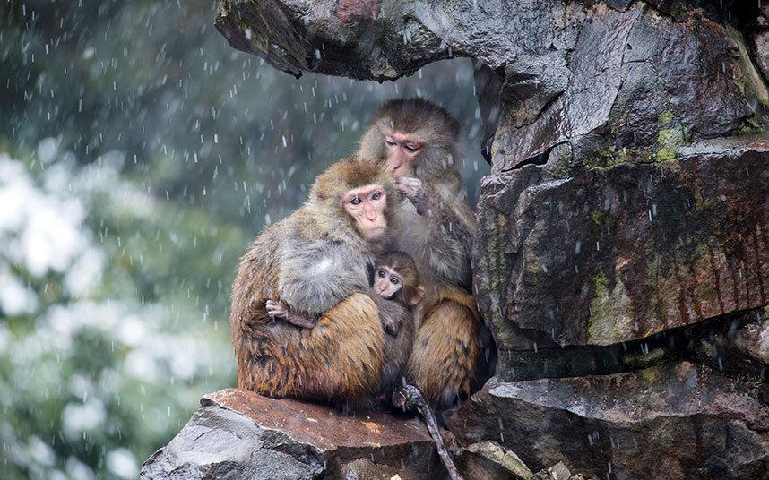6. Китай. Обезьяны ютятся под скалой, спасаясь от метели. Зоопарк в городе Ханчжоу.