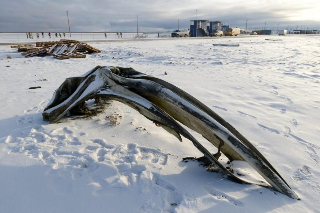 19. Череп гренландского кита, лежащий на пляже.
