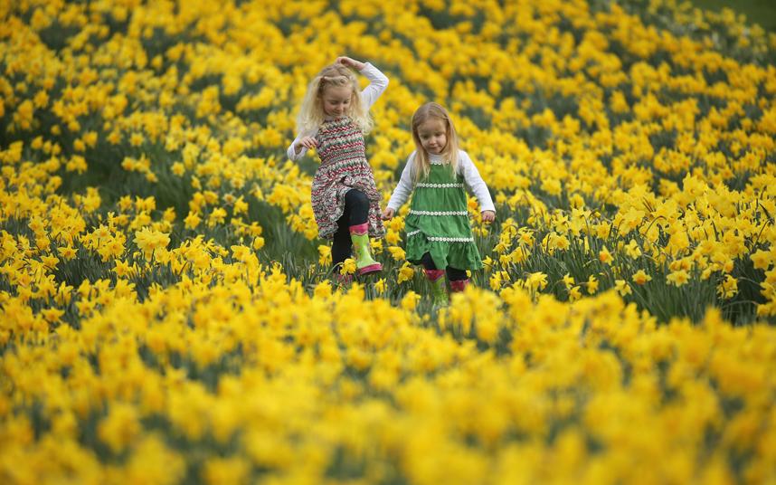 11. Целое поле золотых нарциссов наполняют сердце радостью и весенним настроением. Цветут золотые нарциссы в конце марта, начале апреля.