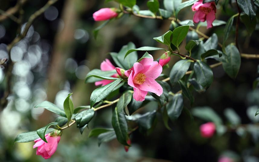 4. Камелия начинает цветение еще зимой и к весне полностью распускается. Камелия поражает своей красотой, но требует должного ухода в качестве комнатного растения.