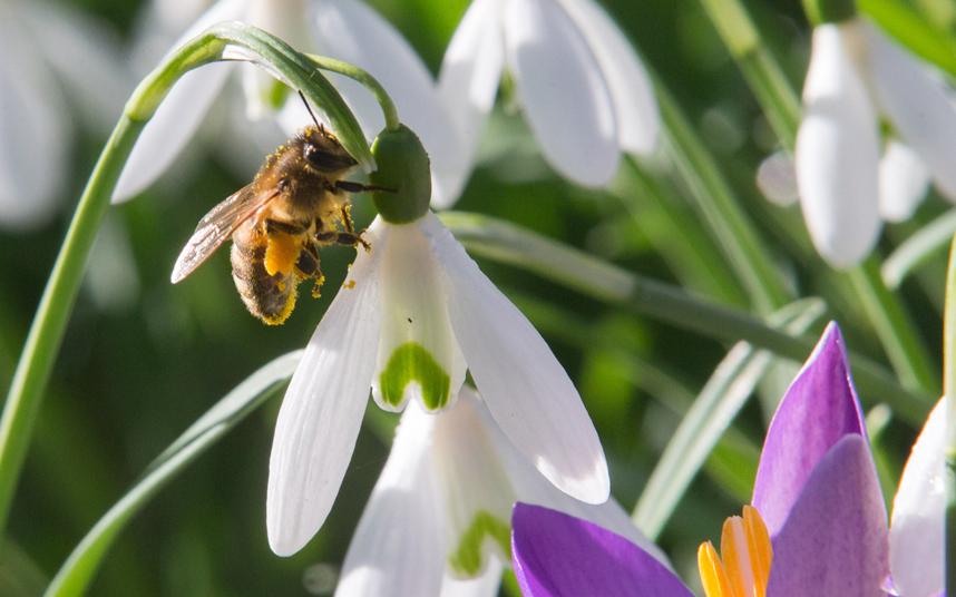 6. Согретая весенним солнцем пчела решила наведаться на цветок подснежника.