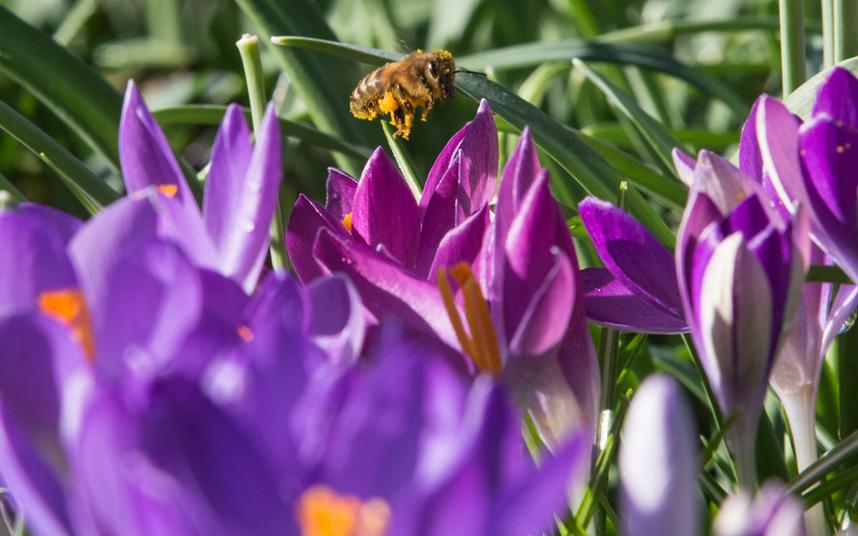 7. А после переключила свое внимание на весенние фиолетовые крокусы.