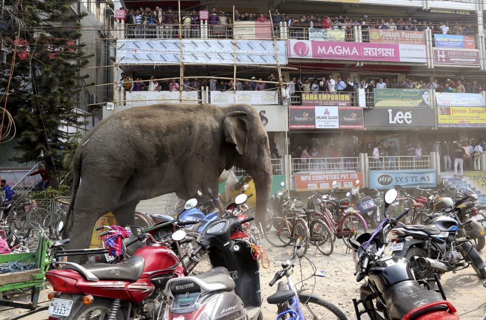 1. 10 февраля жители города Силигури в Индии с ужасом наблюдали такую картину. Дикий слон неистовствовал на улицах города, круша припаркованный транспорт.