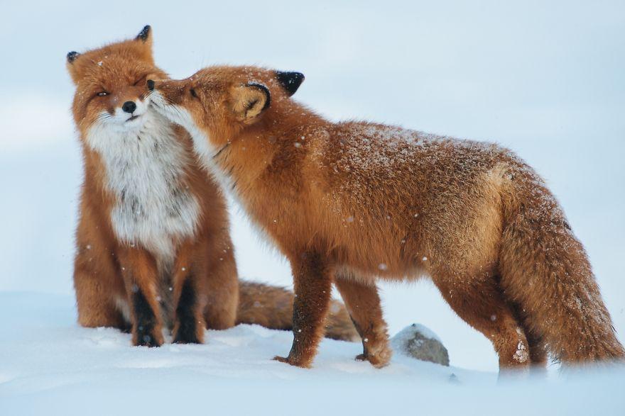 10. Влюбленные лисички.