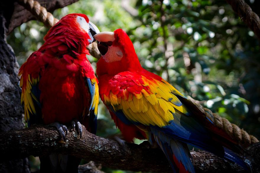 3. Целующиеся попугаи Ара.