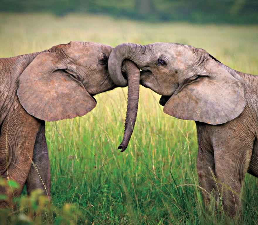 7. Влюбленные слоны.