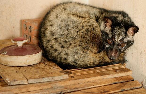 5. Это циветта. Этот милый зверек напрямую связан с производством кофе Копи-лувак.