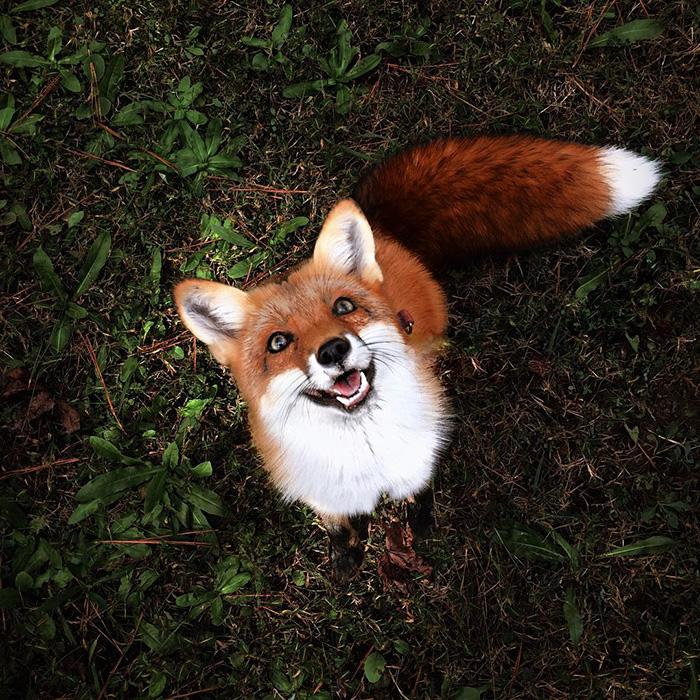 3. «У лисиц очень обострен охотничий инстинкт» - говорит хозяйка Джунипер.