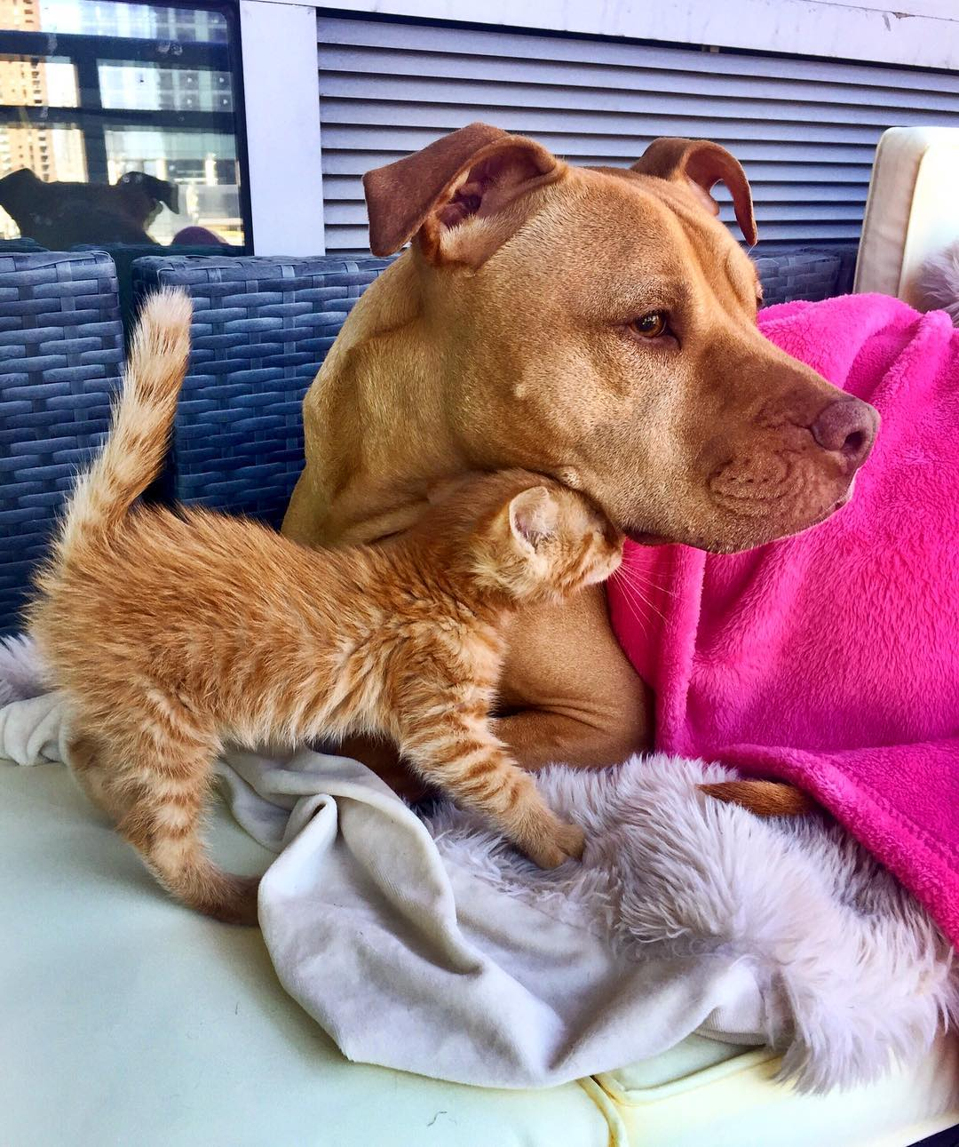 1. Бубба, спасенный из приюта питбуль, очень любит котят.