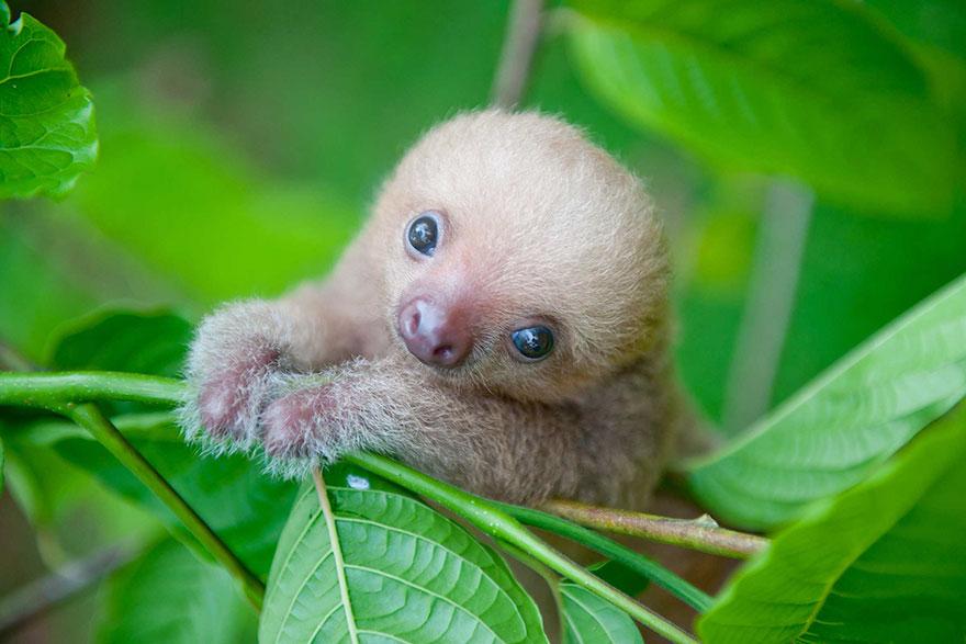 1. Грубое вмешательство человека в природу, особенно вырубка лесов, представляет собой огромную угрозу для популяции ленивцев по всему миру.