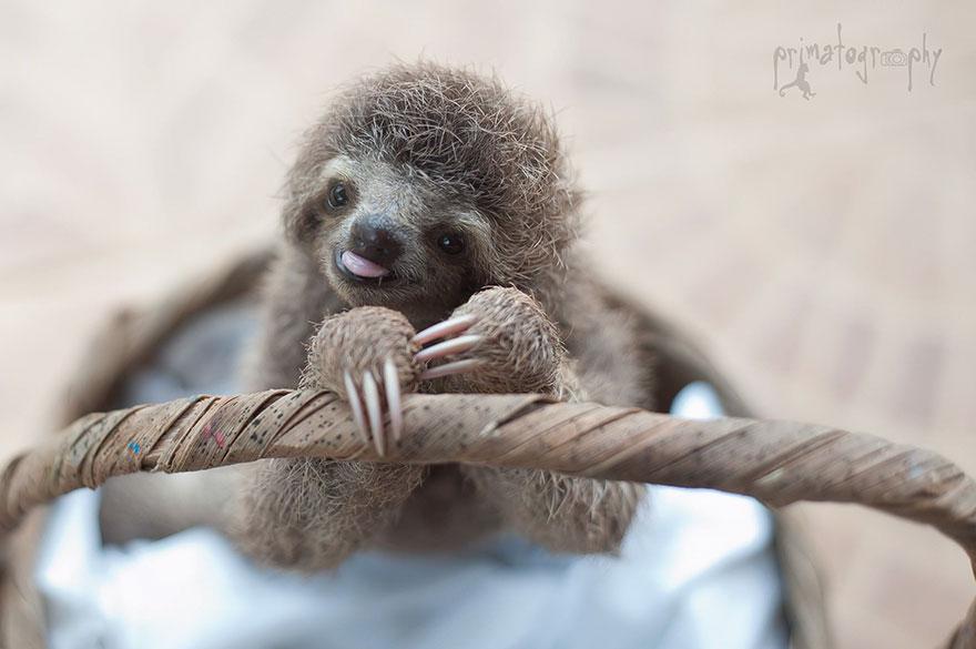 10. «Жизнь ленивцев тесно связана с деревьями. Если дерево, на котором живет ленивец, подстричь или срубить – ленивец может даже умереть».