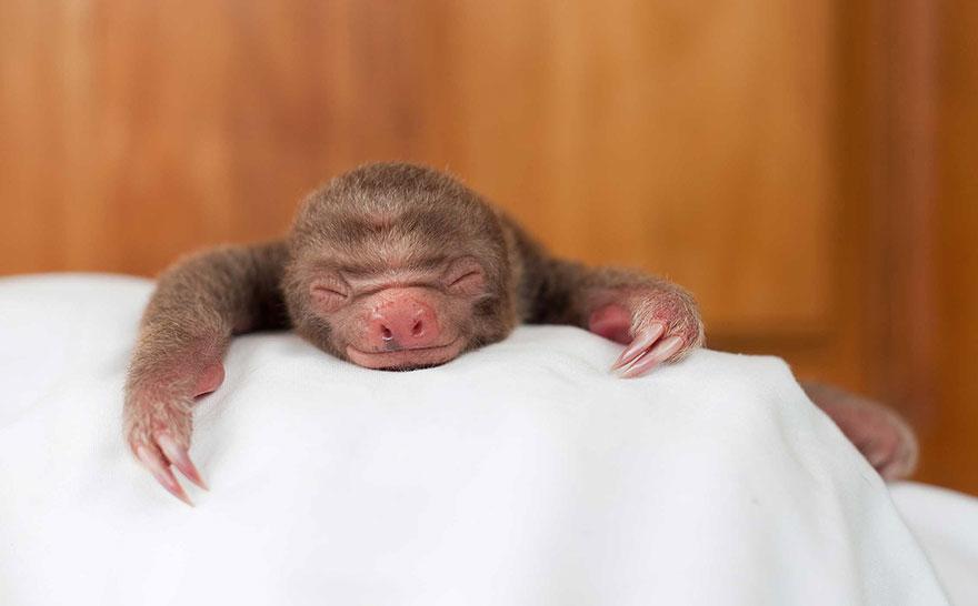 12. «…Всем тем, что мешает выживать любому животному виду, но особенно ленивцам. Ведь при возникновении опасности они не способны быстро перебежать дорогу или отпрыгнуть в сторону».