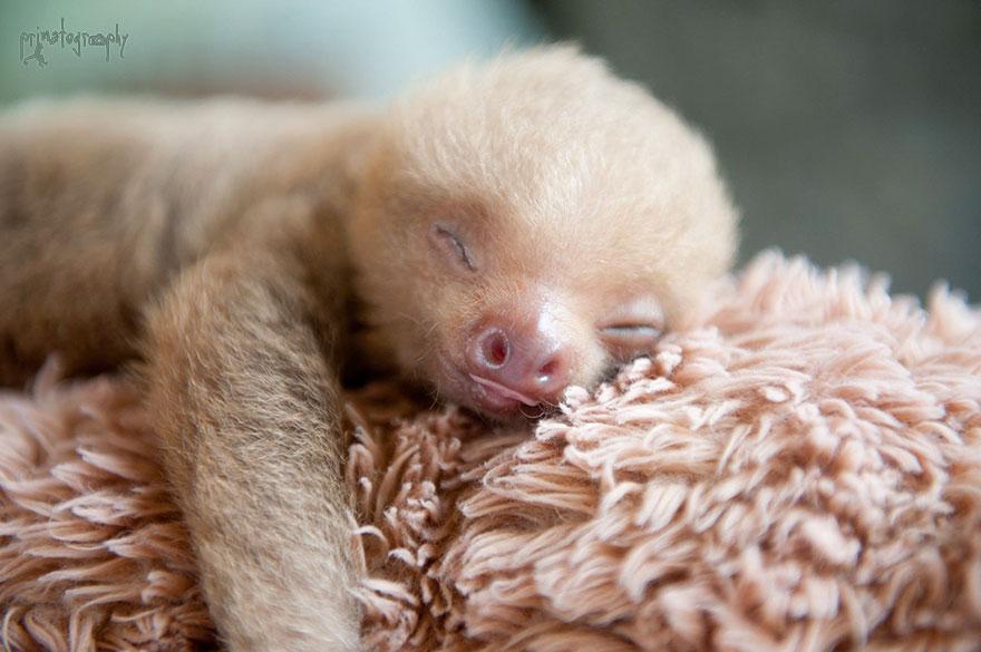 3. Это Керми, ленивец, которого однажды спасла Сэм. Этот случай и вдохновил ее на создание организации по спасению ленивцев.