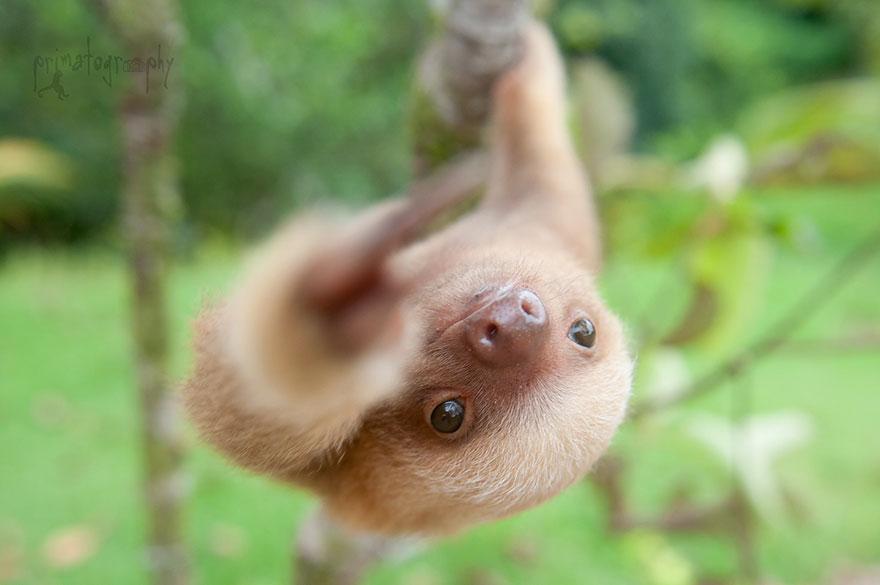 7. «Для того, чтобы выжить, ленивцам нужны деревья, и не просто какие-нибудь, а конкретные виды деревьев и притом в достаточно большом количестве».