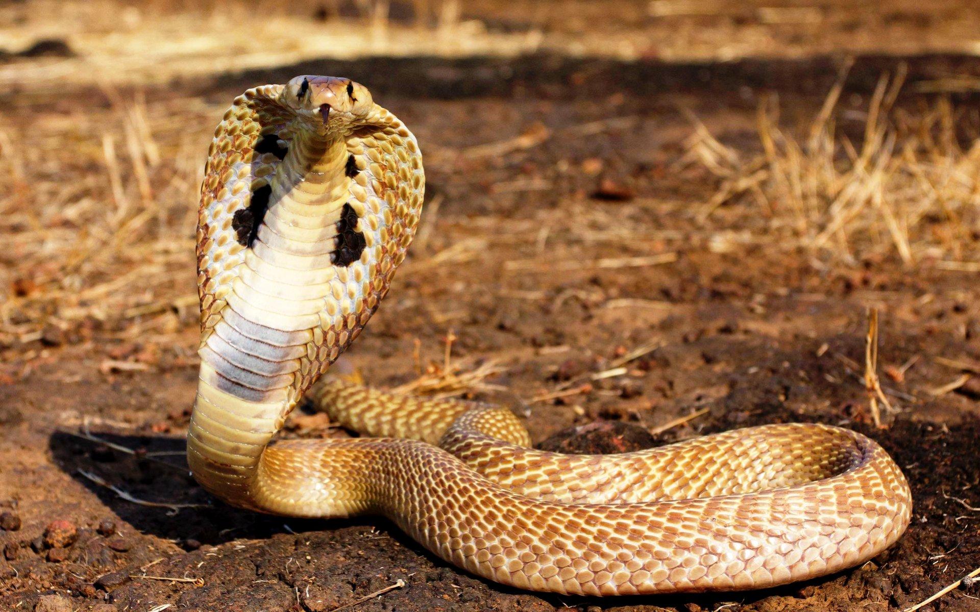 12. Коэффициент смертности от яда очковой змеи – 20-30%.
