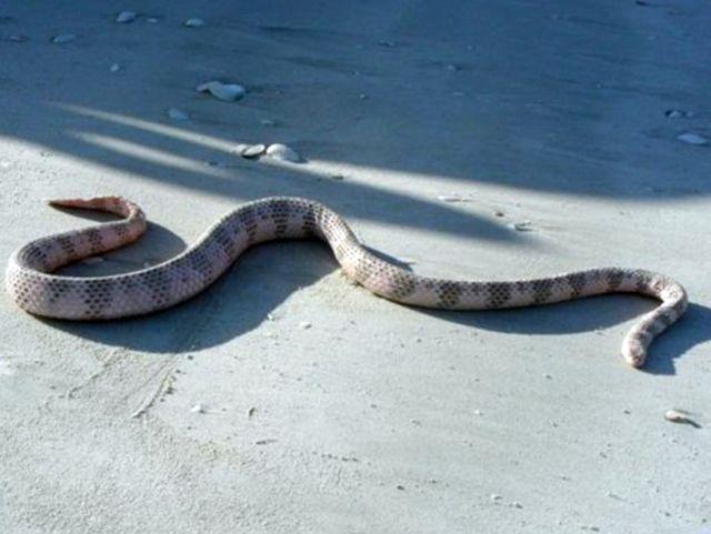 18. Морская змея Дюбуа обладает смертоносным ядом и одного укуса достаточно, чтобы убить человека. Смертность от ее укуса – 3%.